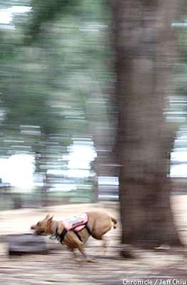 Four-year-old Dakota, a pit bull, ran a live search drill at Mills College in Oakland. Chronicle photo by Jeff Chiu