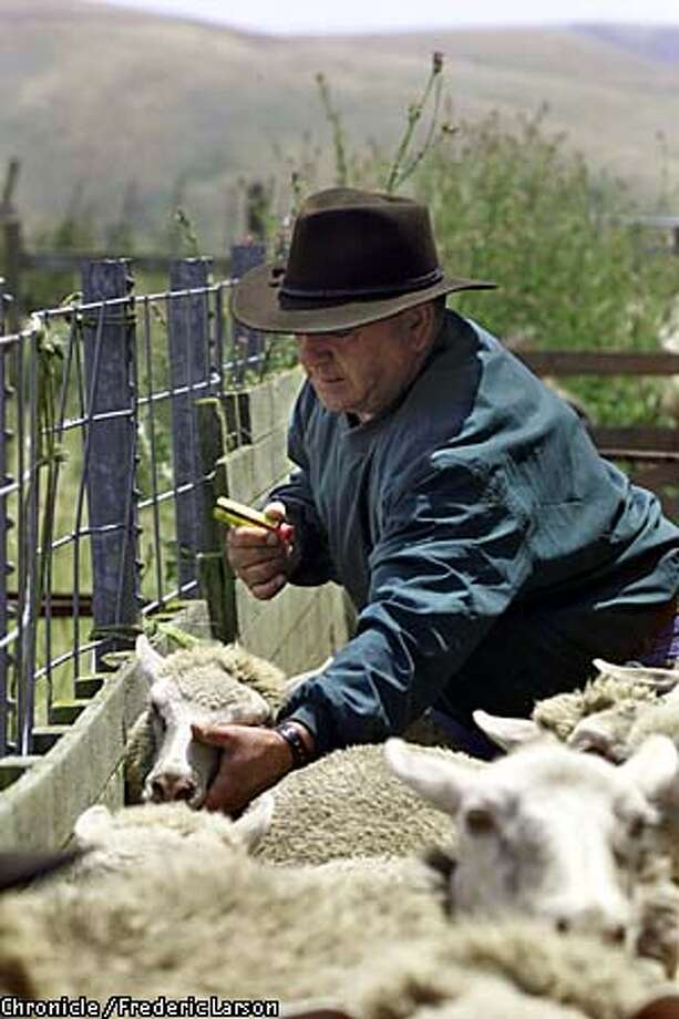 Dio Choperena checked the teeth of one the sheep he keeps near Tomales in Marin County. Chronicle photo by  Frederic Larson