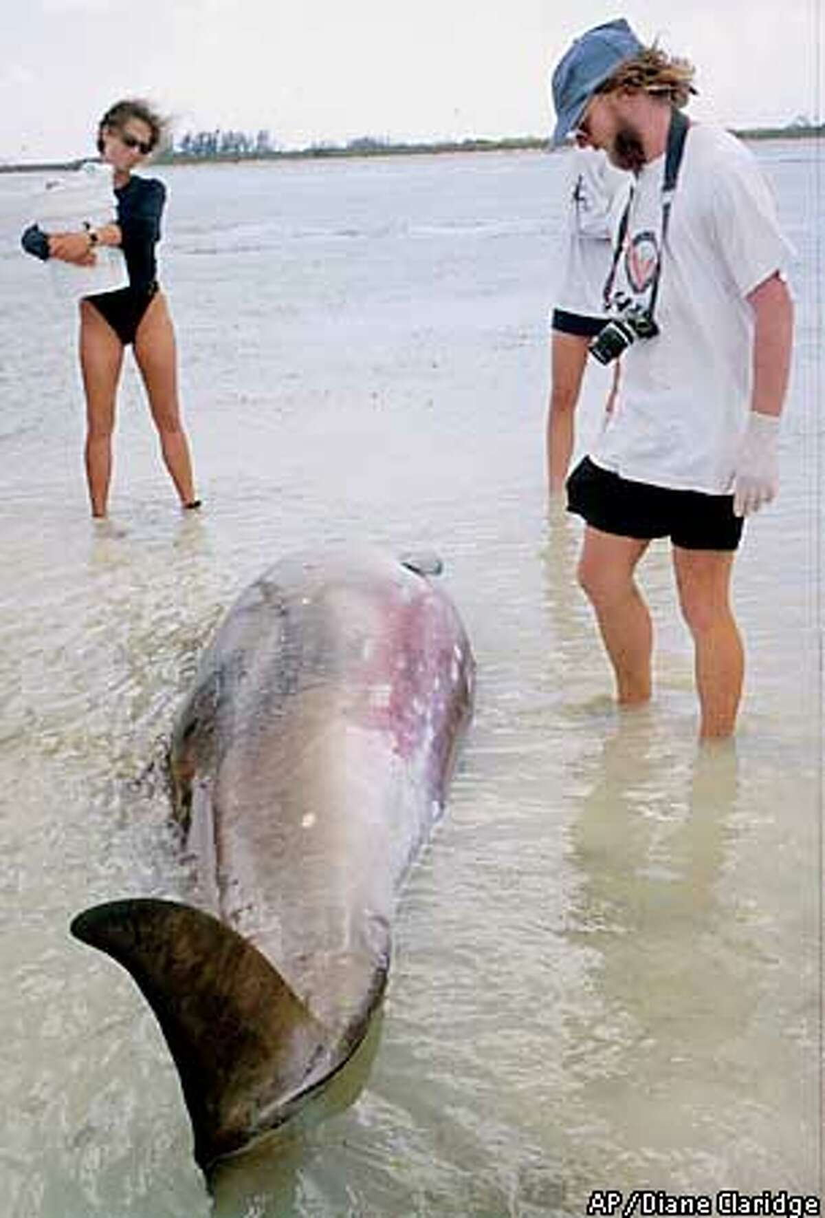 David Ellifrit, of the Center for Whale Research, right, looks at a dead whale after the whale was beached on Abaco Island in the Bahamas March 15, 2000. Autopsies of whales that beached in the Bahamas suggest a possible link between U.S. Navy anti-submarine sonar and ear hemorrhages that disoriented the whales, according to a leading expert hired by the National Marine Fisheries Service. (AP Photo/Diane Claridge)