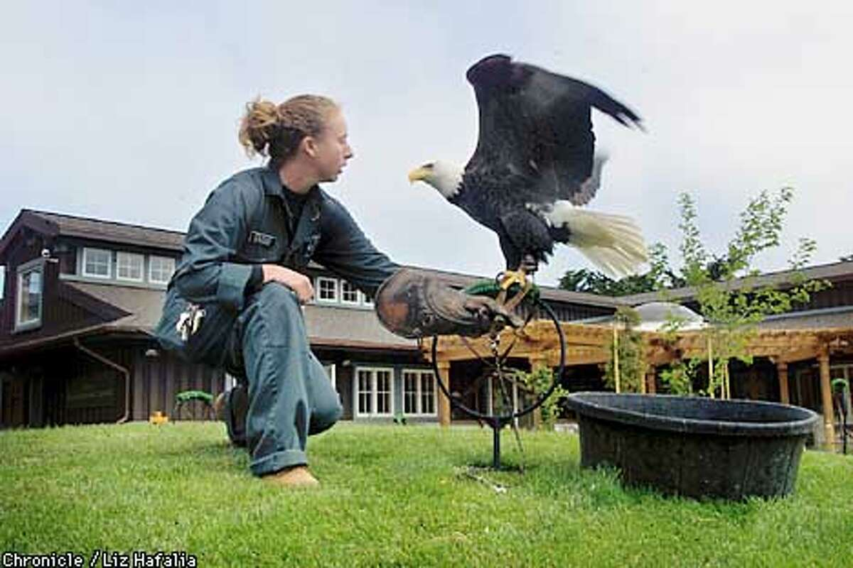 Dillon, a bald eagle, was found injured at Dillon Beach. He is with education specialist Jessie Bushell, who is placing him on a perch in front of the new Koret Animal Resource Center. (BY LIZ HAFALIA/THE SAN FRANCISCO CHRONICLE)
