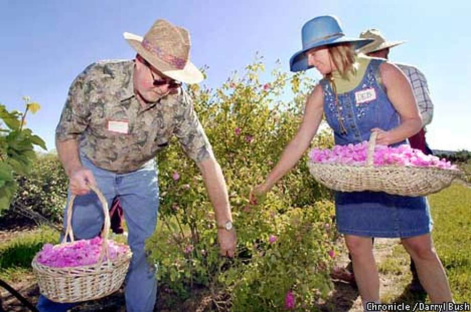 Visitors Glenn Calender of Garnerville, NV., and Debbie Poulnot of Santa Rosa, right, pick Bulgarian roses for rose oil distilling at the Perfume Rose Harvest Tour at the Russian river Rose Co. Chronicle Photo by Darryl Bush Photo: Darryl Bush