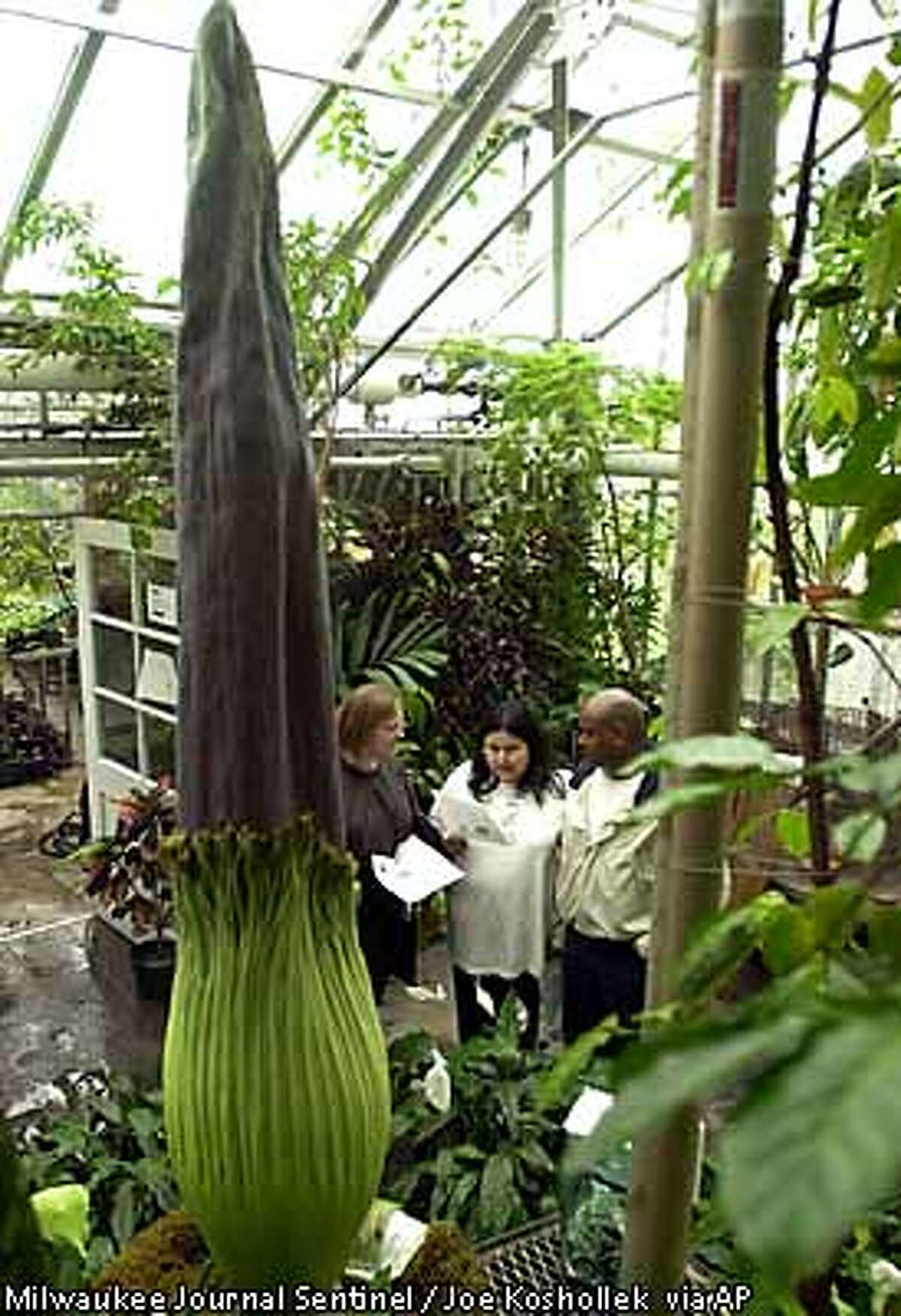From left: Julie Hau, Vianey Acevedo, and Ronnie Midgette read up on gigantic Amorphophallus titanum, also know as the at Birge Hall Greenhouse at the University of Wisconsin Monday, June 4, 2001 in Madison, Wis. It is expected to bloom this Friday or sometime over the weekend for the first time since it was obtained about 10 years ago. Fewer than 15 such events involving the native Sumatran plant have been recorded in the United States. (AP Photo/Milwaukee Journal Sentinel, Joe Koshollek)