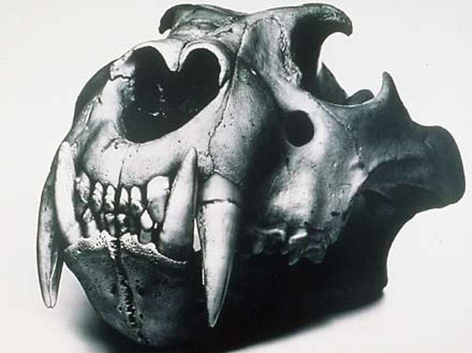 Irving Penn's ``Lion Skull'' (1986) resembles a  sculpture by Henry Moore.