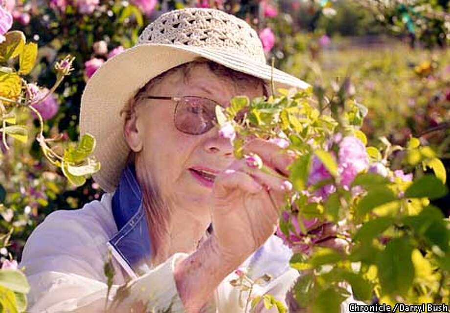 Wilma Milby of Santa Rosa picks a Bulgarian Kazanlik rose blossom for distilling into rosewater during a Perfume Rose Harvest Tour at Russian River Rose Co. in Healdsburg. Chronicle photo by Darryl Bush Photo: Darryl Bush