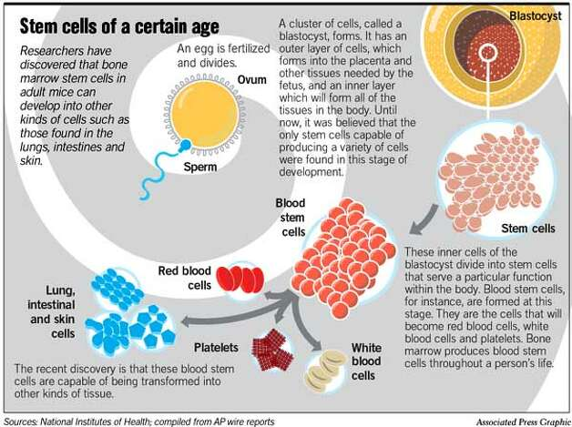 Adult stem cells may adapt for body's benefit / 'Astounding' ability could ...
