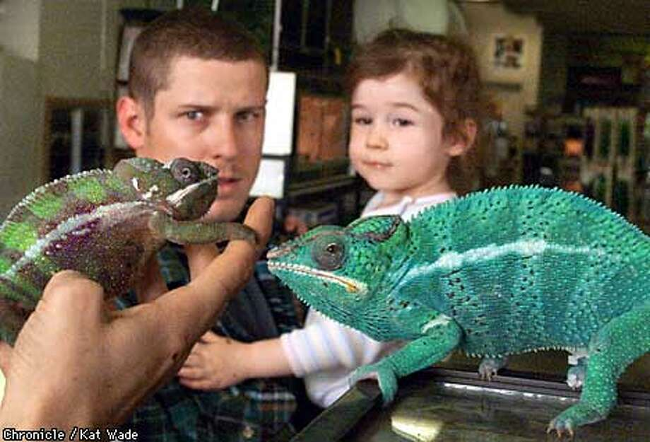 Steven Jelich and his daughter, Cheyenne, 2, of Pittsburg check out a couple of adult male chameleons at Pet'acular Exotics in Antioch. Chronicle photo by Kat Wade