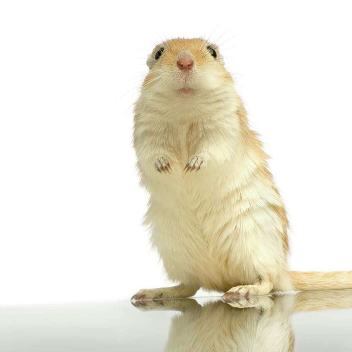 Gerbils need sand bathing to keep their coats from becoming oily.