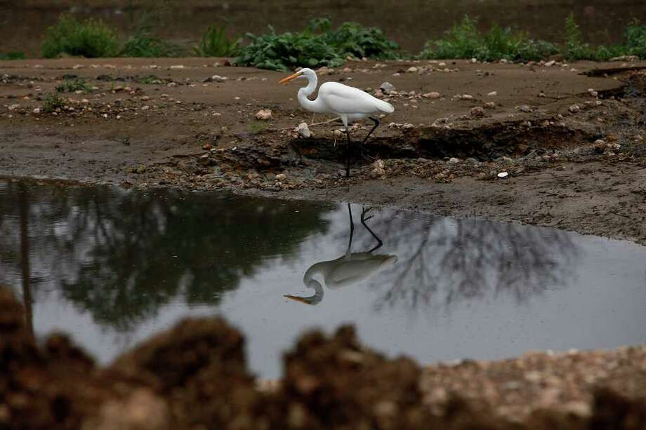A great egret is one of the birds seen on the San Antonio River on the newest part of the Mission Reach. Photo: Lisa Krantz, Lkrantz@express-news.net / @2012 SAN ANTONIO EXPRESS-NEWS