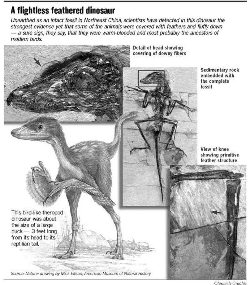 A Flightless Feathered Dinosaur. Chronicle Graphic