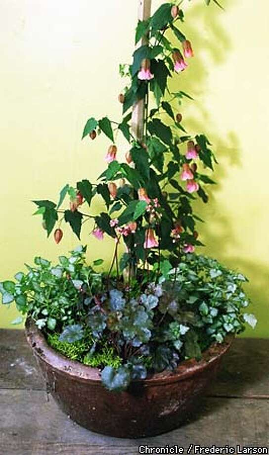: Plants in pots to create drama ald color all summer. Chronicle photo by Frederic Larson. Photo: FREDERIC LARSON