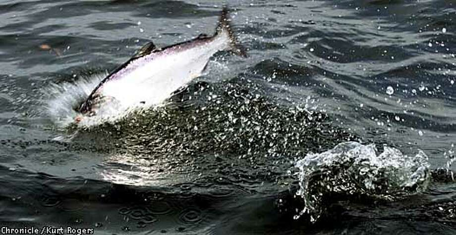 Splashdown: Salmon season has just gotten under way, and it should be a good year. Chronicle photo by Kurt Rogers