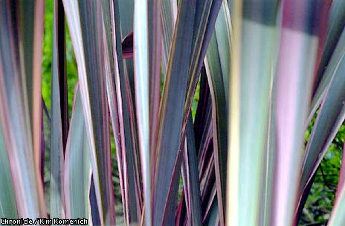 Pattern is an important part of any landscape. Here, phormium adds colorful stripes to part of Robin Parer's Marin garden. Chronicle photo by Kim Komenich
