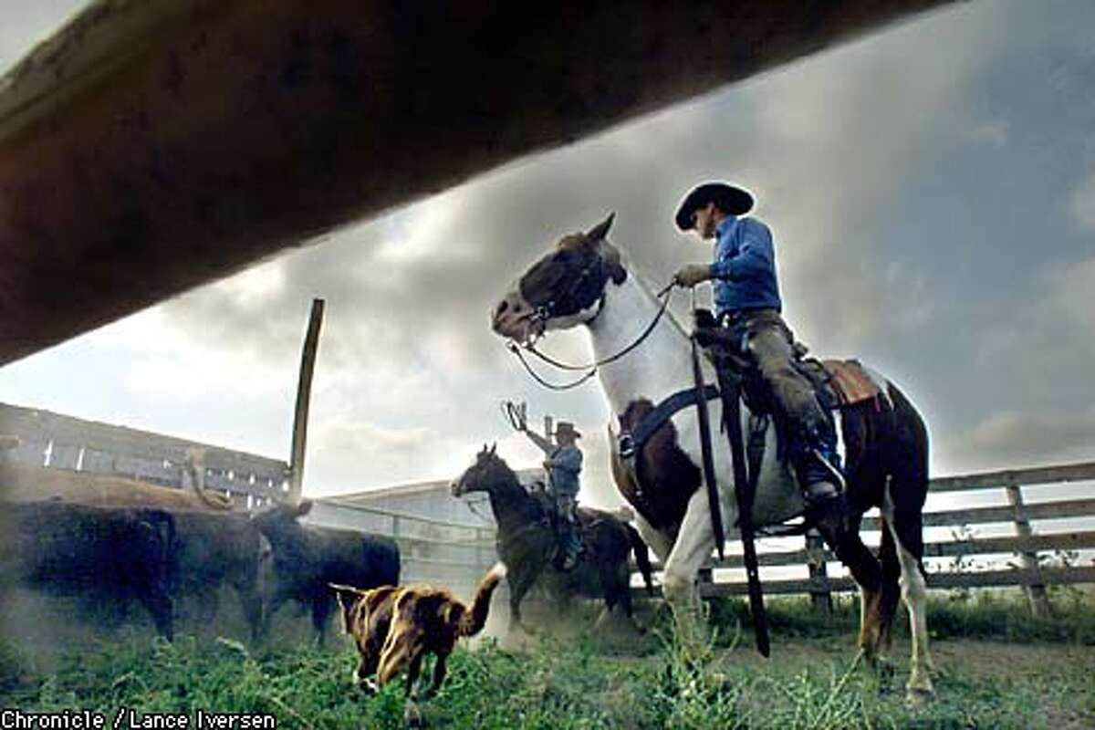 Cattlemen like Charles Clark and his nephew Pat Clark, who were separating stock on their Keldron, S.D., ranch, are struggling to survive against an economic downturn on the Great Plains. Chronicle photo by Lance Iversen