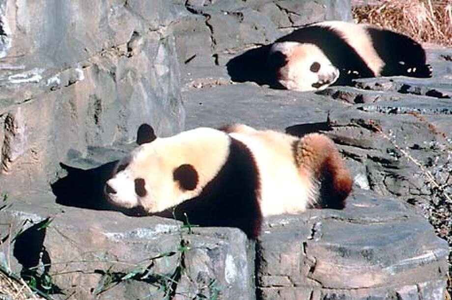 National Zoo pandas Mei Xiang and Tian Tian. Handout Photo