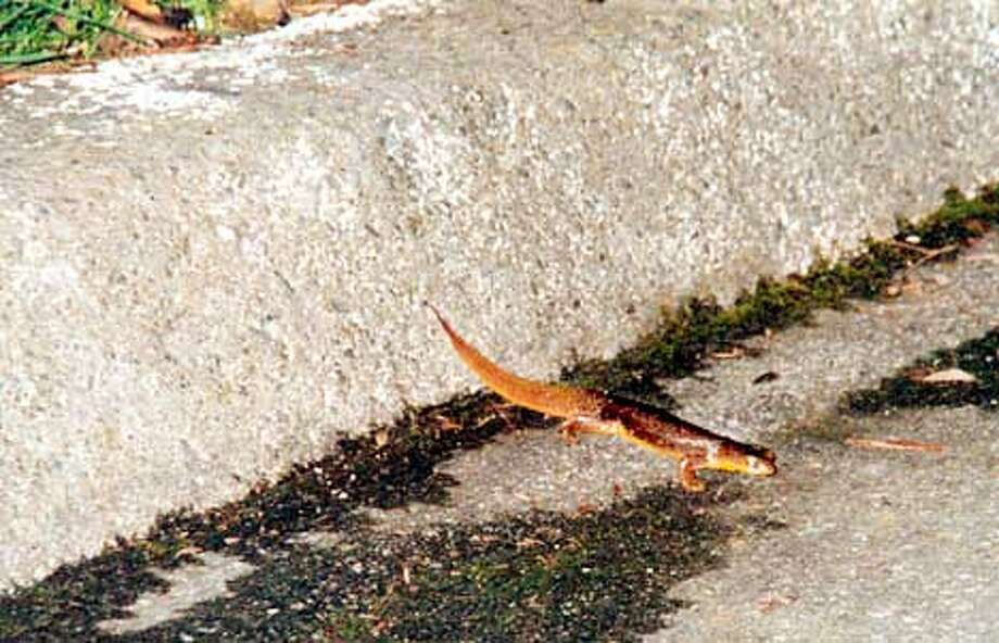 Newt crossing the road.