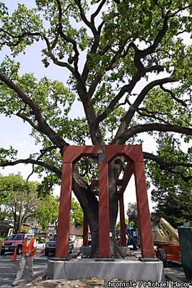 Downtown Danville in an attempt to save their 300 year old Oak Tree, is constructing a steel cage around to add support to the weakened Oak. The city is spending $69,000 on the project. by Michael MAcor/The Chronicle Photo: MICHAEL MACOR