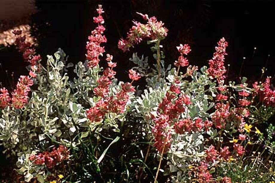 Salvia pachyphylla at the High Country Gardens