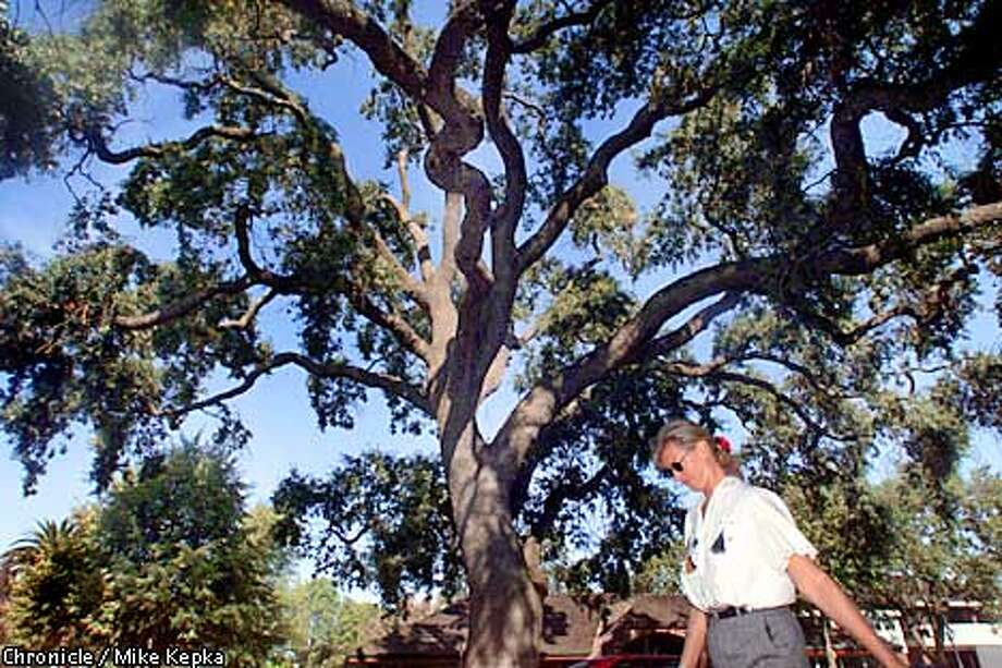 Karen McPherson (cq) walks past Danville's dying 300-year-old Oak tree on Diablo Road on her way back from Lunch. McPherson, who can see the tree from her office, says she was sad when she first heard the tree was rotting. BY MIKE KEPKA/THE CHRONICLE Photo: MIKE KEPKA