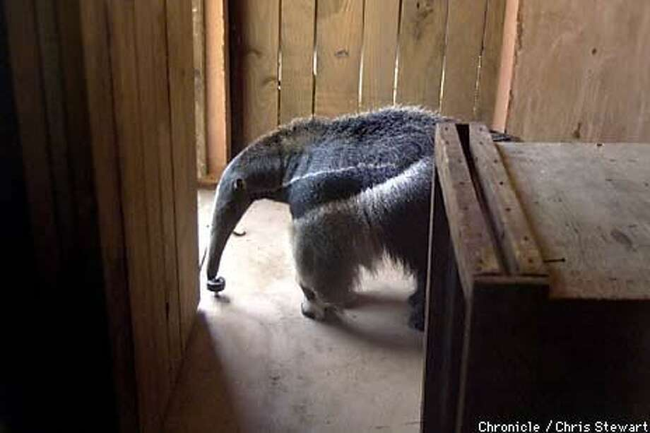 Sauna, a giant anteater that's part of the ``Puente al Sur'' exhibition, would eat 30,000 ants a day if she lived in the wild. The zoo feeds her a mix of dog chow and high-protein foods, including yogurt. Chronicle Photo by Chris Stewart