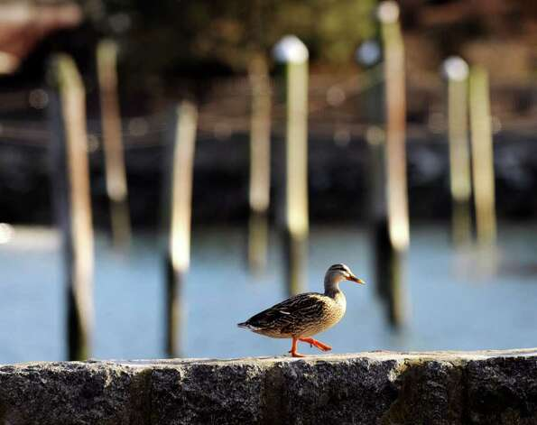 A duck walks along the seawall in Byram Park on a warm Tuesday afternoon, Jan. 31, 2012. Photo: Bob Luckey / Greenwich Time