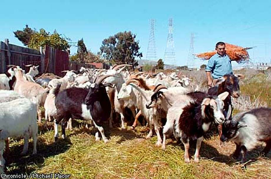 Some 300 goats let go in a field across from SFO are doing weed control by eating. Goat hearder Juan Ruiz moves around a portable fence to control where the goats feed. by Michael Macor/The Chronicle Photo: MICHAEL MACOR