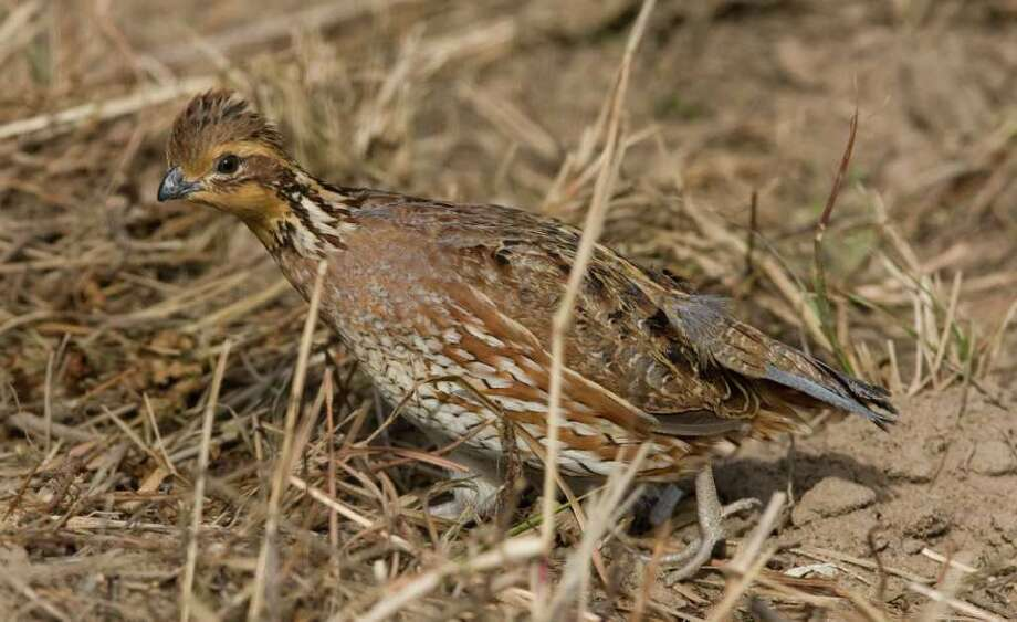 Once ubiquitous across most of Texas, bobwhite quail numbers have plummeted as much as 75 percent over the past 30 years as habitat has disappeared or fragmented. South Texas and the Rolling Plains are the state's final quail strongholds. Photo: Steve Campbell / Houston Chronicle