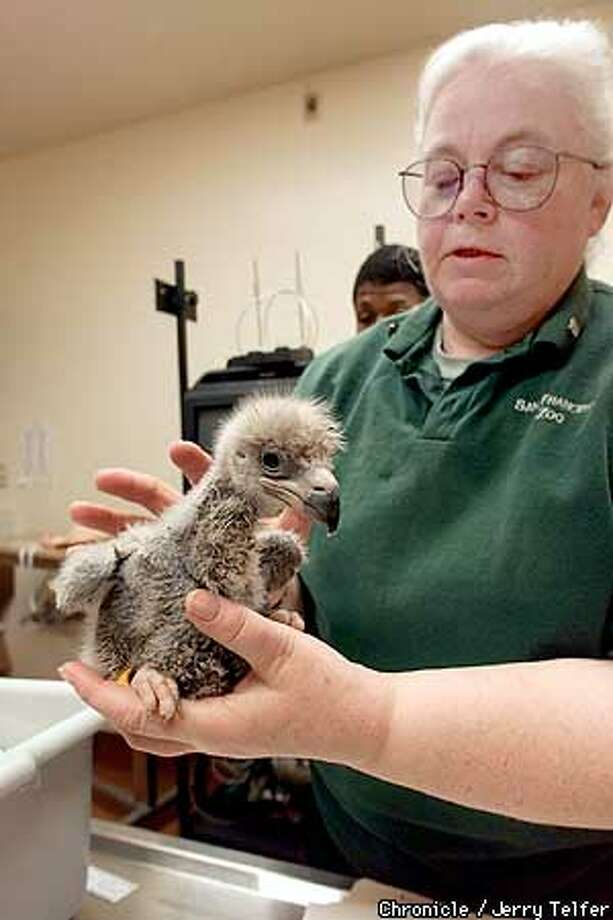 """SF Zoo volunteer Linda Micke helps to measure and band """"Sierra,"""" one of three bald eagle chicks which will be placed in nests on Santa Catalina Island.  SF Zoo hospital  CHRONICLE STAFF PHOTO BY JERRY TELFER Photo: JERRY TELFER"""