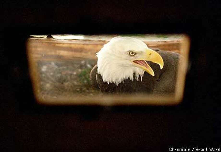 A female bald eagle looked up from her nest at the center. Chronicle Photo by Brant Ward