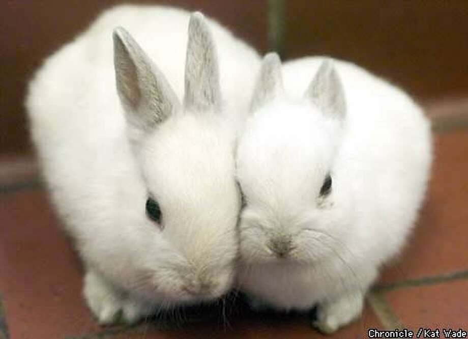 In the get-aquianted room at the Peninsula Humane Society, Holly and  Tabitha, two 6- to 8-week-old dwarf bunnies, snuggle. Chronicle Photo by Kat Wade
