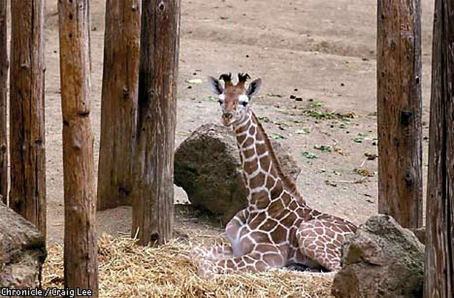 GIRAFFE-C-22MAR01-EZ-CL  Baby giraffe born Feburary 8 at the Oakland Zoo.  Photo by Craig Lee/San Francisco Chronicle