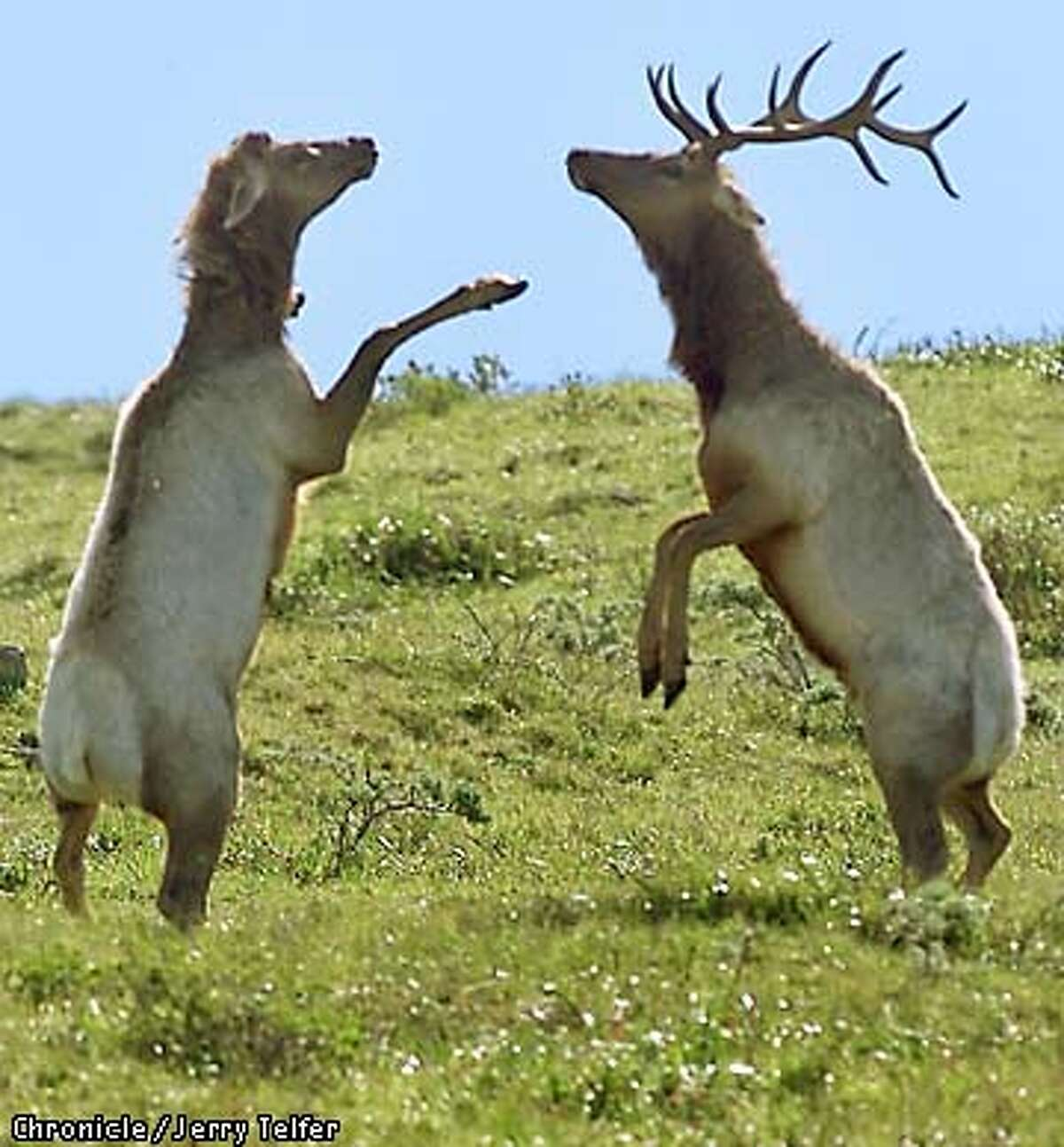 Nearing the end of rutting season, a pair of bull tule elk engage in a bit of boxing with their hooves. (terminology correct, per park biologists). Tule elk shed their antlers each year, as have the two at left. Tule elk are proliferating in their reserve at the north end of Point Reyes National Seashore. CHRONICLE STAFF PHOTO BY JERRY TELFER