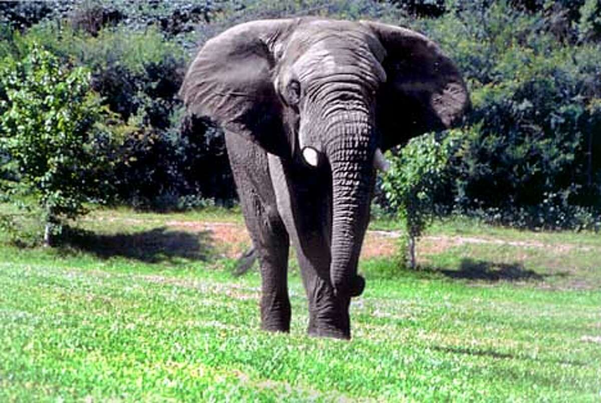 Smokey the African elephant was a fixture at the Oakland Zoo for 25 years. File photo courtesy the Oakland Zoo