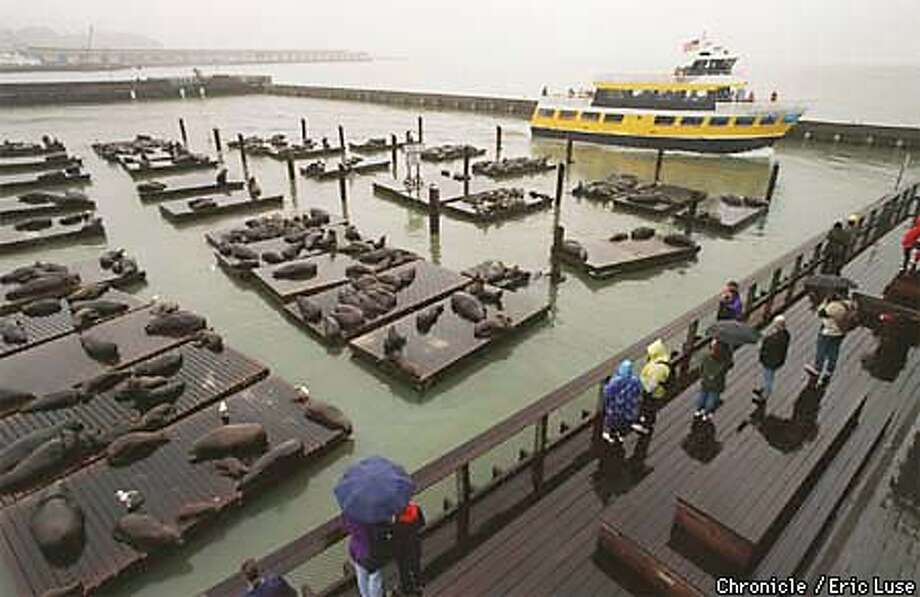 Sea Lions at Pier 39 where the Marin Mammal Center has rescued underweight yearlings.  Photo by Eric Luse Photo: Eric Luse