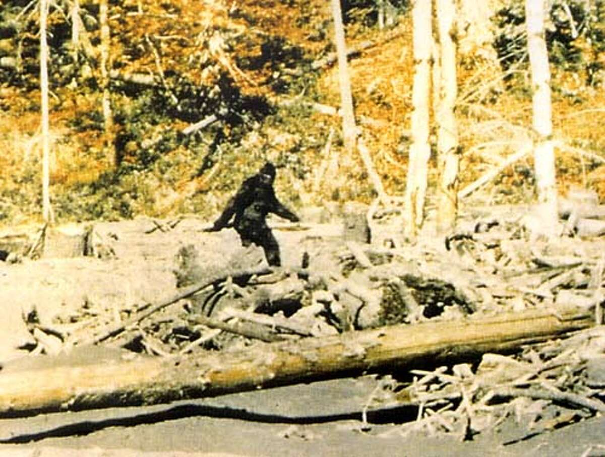 BIGFOOT/C/18JAN98/SC/ROGER PATTERSON THIS IS A STILL FRAME FROM THE 16MM FILM SHOT BY HUNTER ROGER PATTERSON ON BLUFF CREEK, NEAR WERTCHPEC, CALIFORNIA IN OCTOBER, 1967. ROGER PATTERSON, SUPPLIED COURTESY OF RENE DAHENDEN (OWNER OF THE RIGHTS) THIS CREDIT MUST RUN BY AGREEMENT