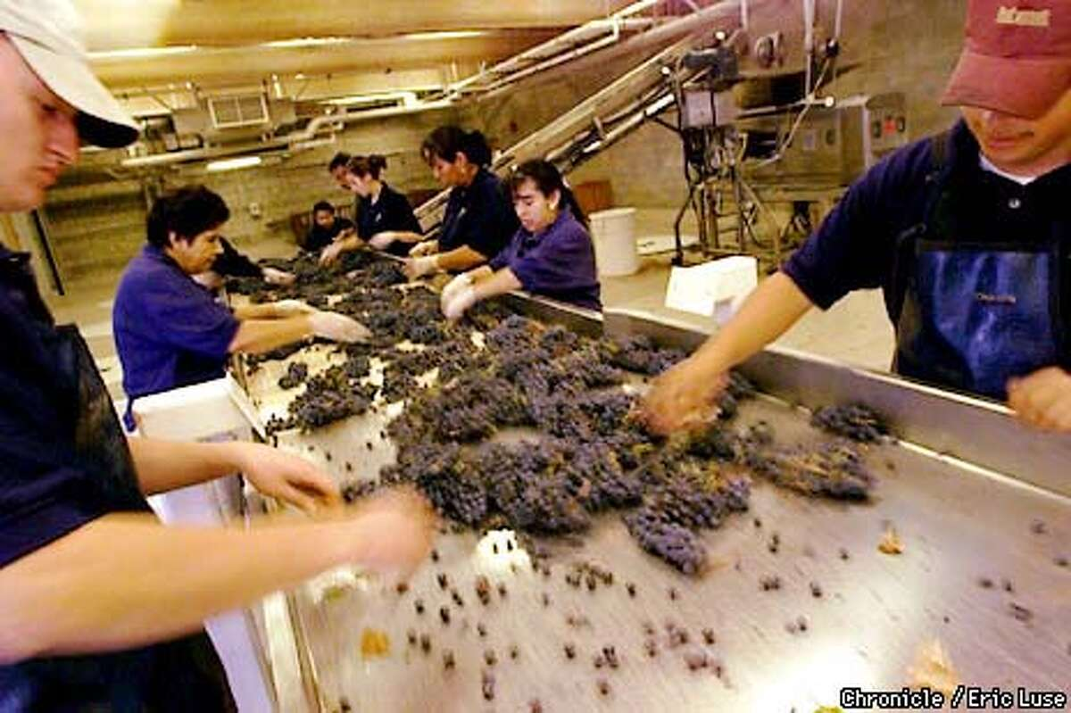Once the grapes are back at Opus One in the Napa Valley they are dumped onto a hand sorting coveyer to pickout leaves and bad grape cluster going into the destemmer-crusher which seperates the grapes from the stems with the juice and grapes dropping into the fermentation tank below. The entire production of roughly 30,000 cases is handpicked into these 40-50lb lug boxes before transport to the winery. BY ERIC LUSE/THE CHRONICLE