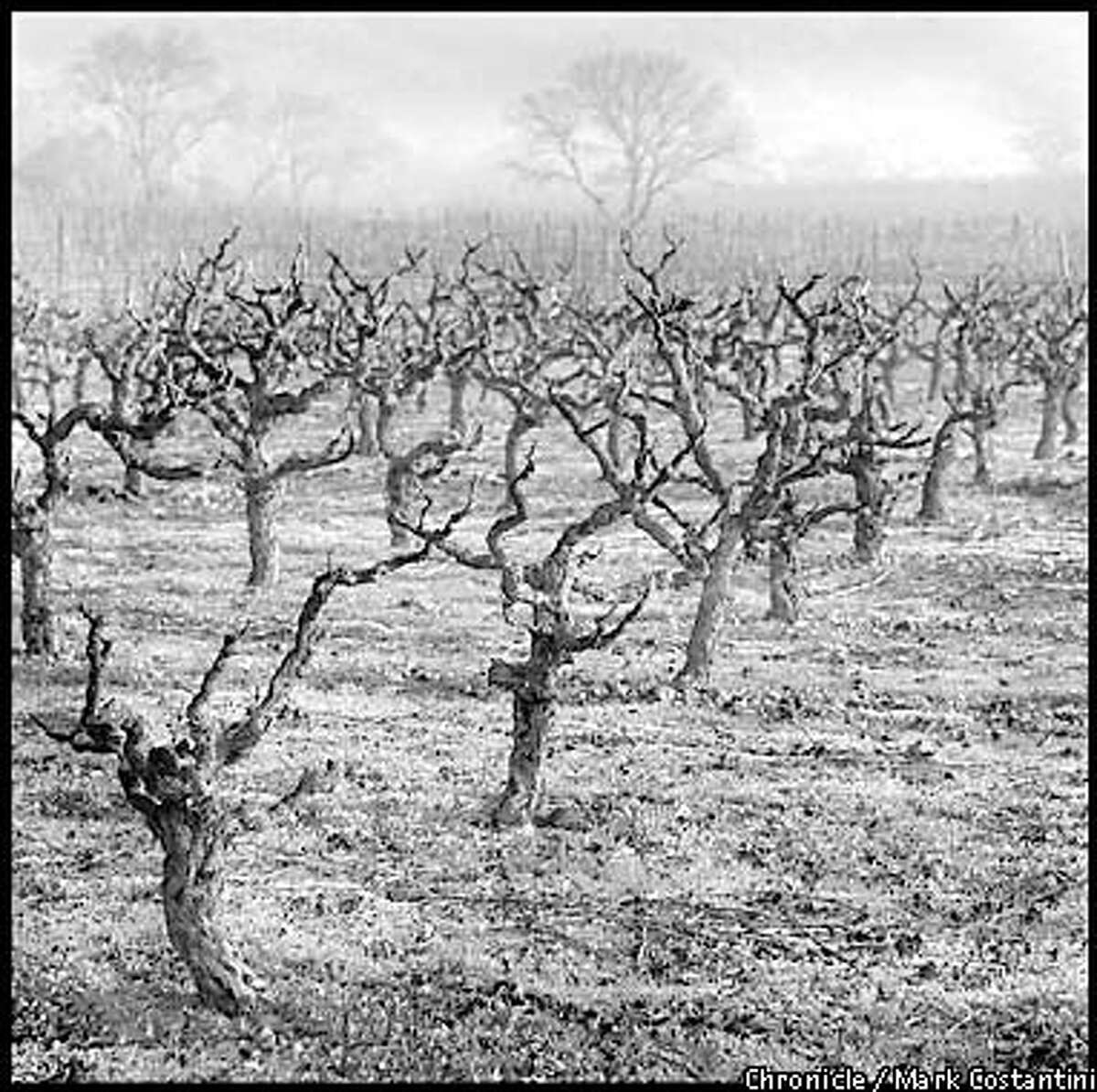 OLDVINEZIN17c-B-03JAN01-FD-MC. Old vine zinfandel vines at the Valley of The Moon winery in Sonoma County. Photo: Mark Costantini/The Chronicle