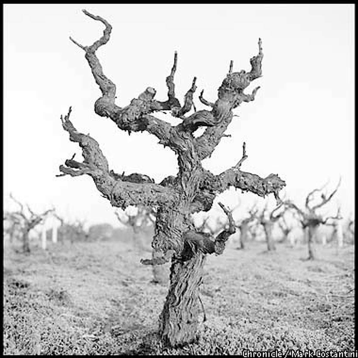 OLDVINEZIN17e-B-03JAN01-FD-MC. Old vine zinfandel vine at the Valley of The Moon winery in Sonoma County Photo: Mark Costantini/The Chronicle