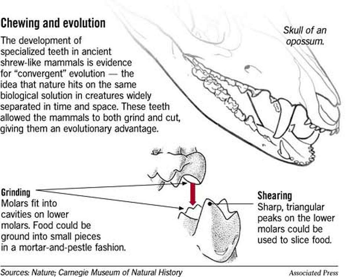 Chewing and Evolution. Associated Press Graphic