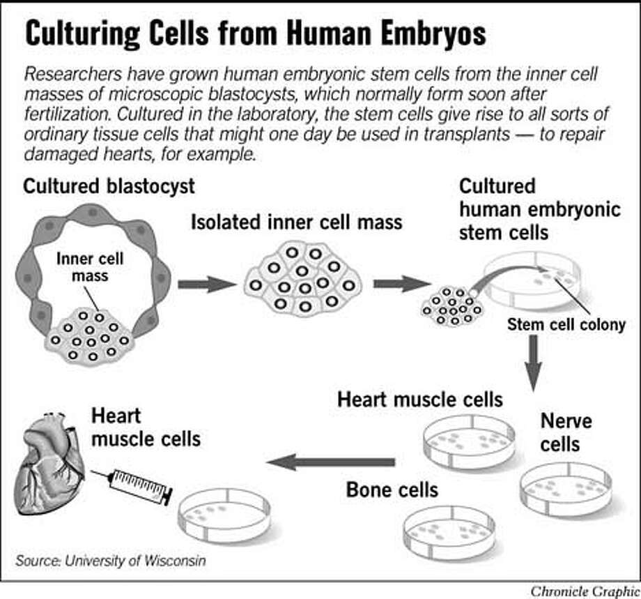 Culturing Cells from Human Embryos. Chronicle Graphic