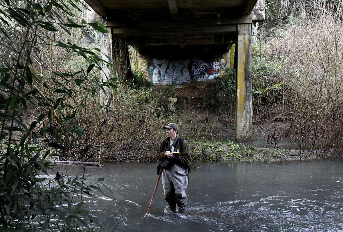 Eric Ettlinger, an aquatic ecologist with the Marin Municipal Water District, wades in the Lagunitas Creek Thursday morning to do the yearly coho salmon count in Lagunitas, Calif., Thursday, January 26, 2012. Ettlinger says the endangered fish's numbers are finally showing an increase after declining steadily since 2004.