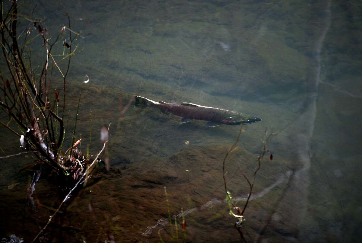 A male coho salmon swims in the Lagunitas Creek Thursday morning in Lagunitas, Calif., Thursday, January 26, 2012. Ettlinger says the endangered fish's numbers are finally showing an increase after declining steadily since 2004.