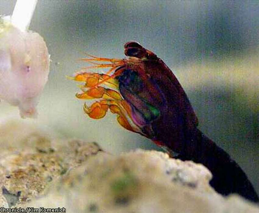 Sparky, the mantis shrimp snatched with tongs from an exhibit, has now become a pet of aquarists. Chronicle photo by Kim Komenich