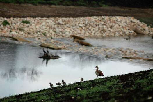 An Egyptian Goose and it's young walk along the newest part of the Mission Reach of the San Antonio River under construction as County Judge Nelson Wolff, county officials and staff with the San Antonio River Authority take a tour on Wednesday, Feb. 1, 2012. Photo: Lisa Krantz, San Antonio Express-News / @2012 SAN ANTONIO EXPRESS-NEWS