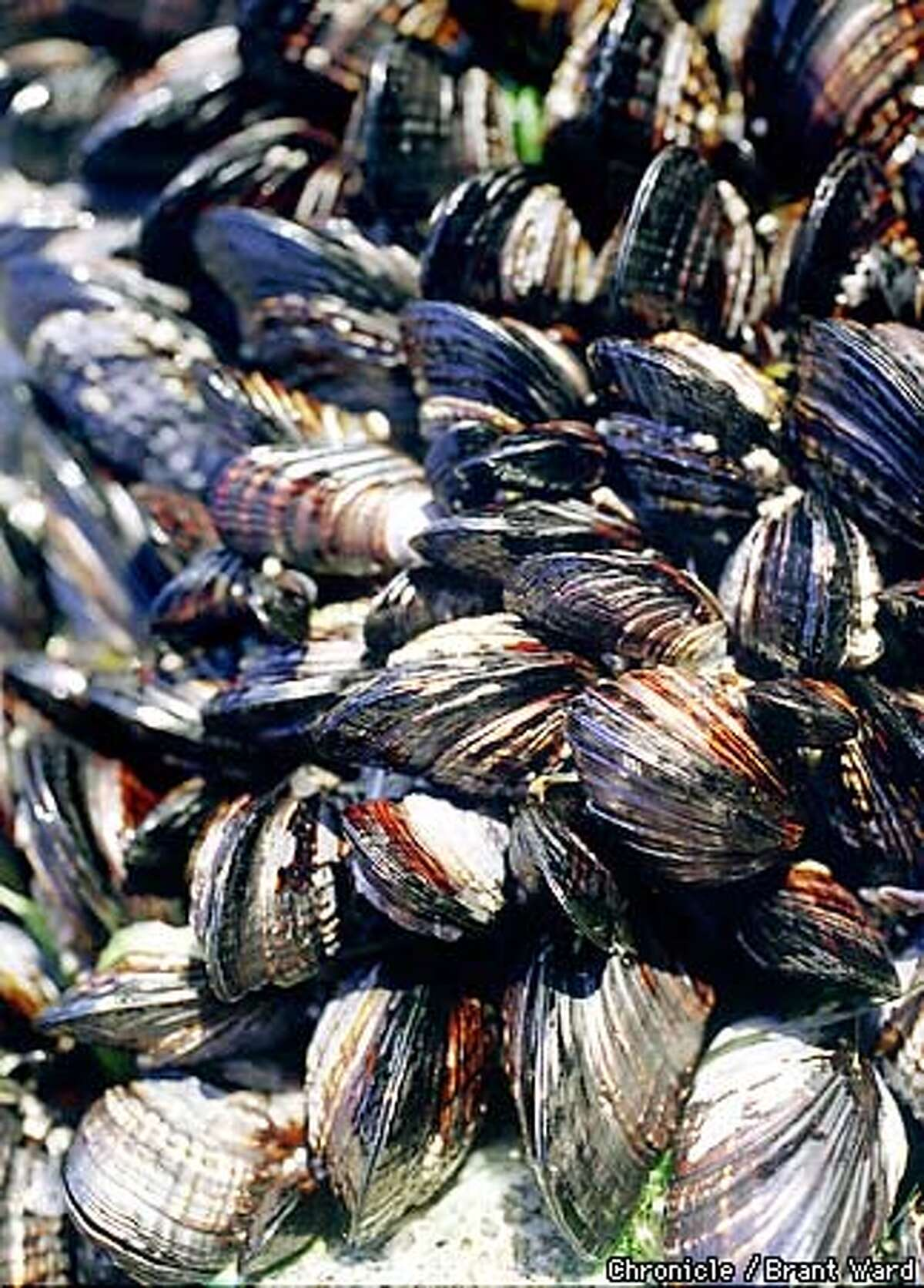 MUSSELS1/17NOV98/FD/BW--Mussels huddle together on a rock near Bodega Bay. By Brant Ward/Chronicle
