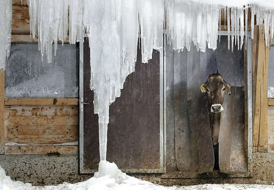 Cold and miserable, just as I thought:A cow checks the weather outside its stable in Davos, Switzerland. Photo: Arno Balzarini, Associated Press
