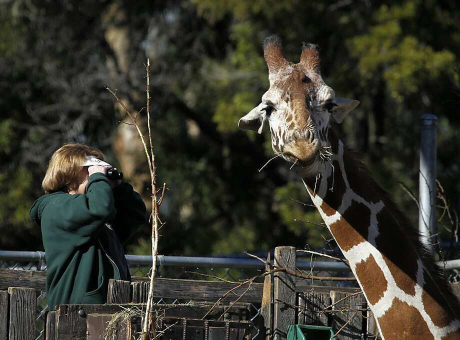 An adult giraffe eats while Joan Smith, a volunteer at the Oakland Zoo monitors the activities of Maggie, the baby giraffe who made her public debut at the zoo in Oakland, Calif. on Thursday, Feb. 2, 2012. Maggie weighed in at 80 pounds and was six feet tall when she came into the world at 6:30 a.m. on Jan. 12. She is the ninth giraffe that calls the Oakland Zoo home. Photo: Paul Chinn, The Chronicle