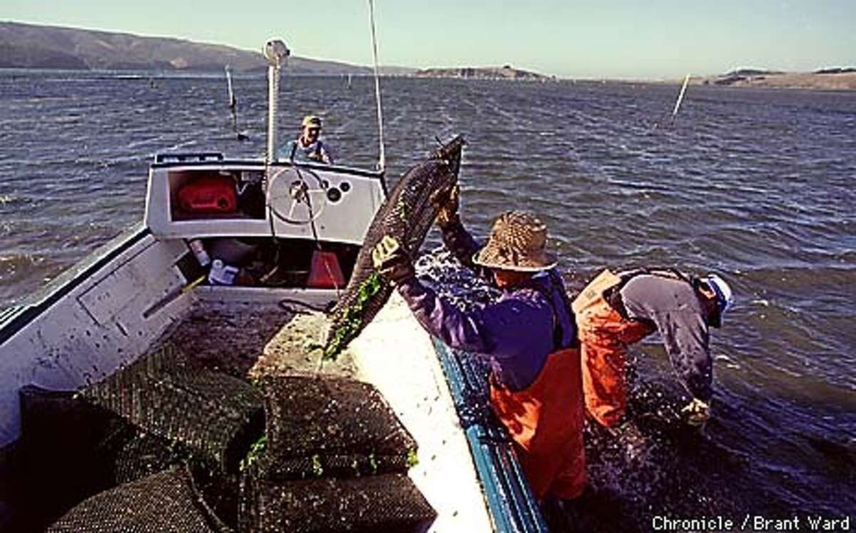 OYSTERS1/30OCT98/MN/BW--In the middle of Tomales Bay, workers haul large sacks of oysters out of the shallow water. These bags of oysters have been growing for three years in the bay and now will be taken back to Marshall for processing. By Brant Ward/Chronicle
