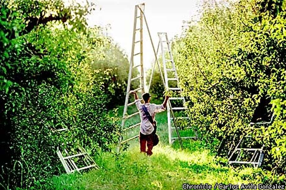 In a pear orchard outside of Ryde, Ca., a field worker, contracted by Luis Bautista, moves throug the rows of trees to pick fruit. Bautista is one of Stockton's largest labor contractors, handling about 250 workers, and provides workers for industries ranging from field work to hospital cleaning. (CHRONICLE PHOTO BY CARLOS AVILA GONZALEZ) Photo: CARLOS AVILA GONZALEZ
