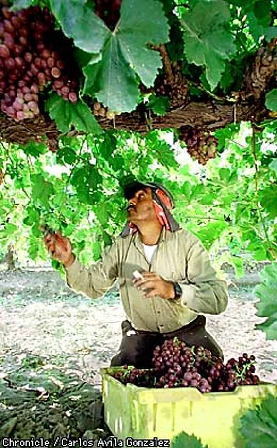 A field worker on Don Laub's vineyard in Fresno picks ripe grapes on Wednesday, July 29, 1998. Laub's manages to have the same people return to work for him season after season, and has several generations of workers from the same family working for him. (CHRONICLE PHOTO BY CARLOS AVILA GONZALEZ) Photo: CARLOS AVILA GONZALEZ