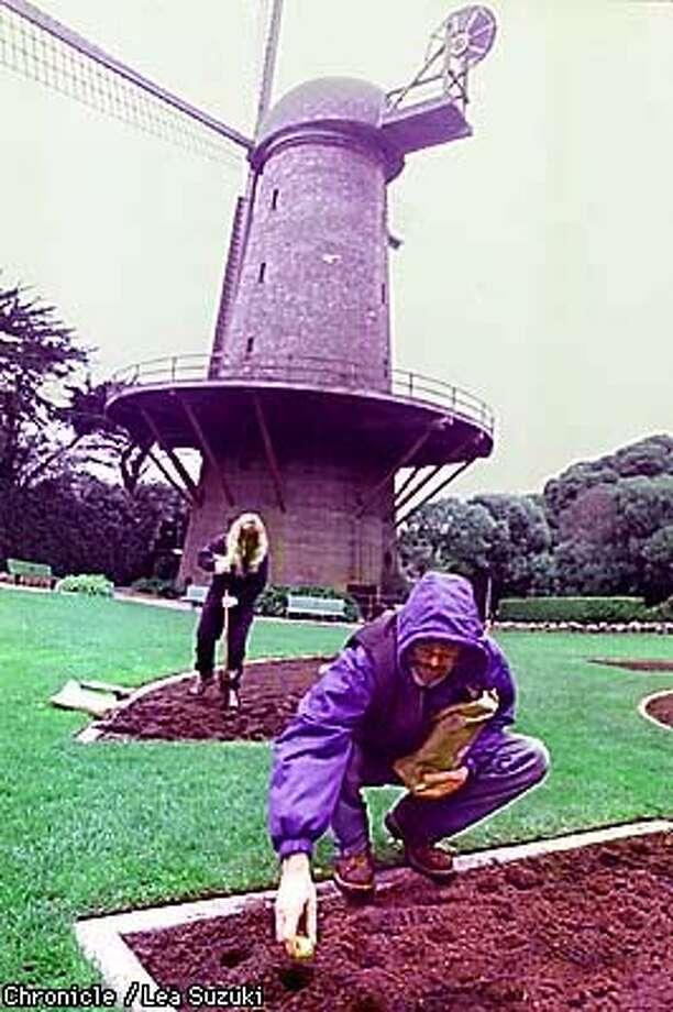 Greg Woods, city gardener, plants tulip bulbs in the Queen Wilhelmina Garden in Golden Gate Park. Photo By Lea Suzuki Photo: LEA SUZUKI